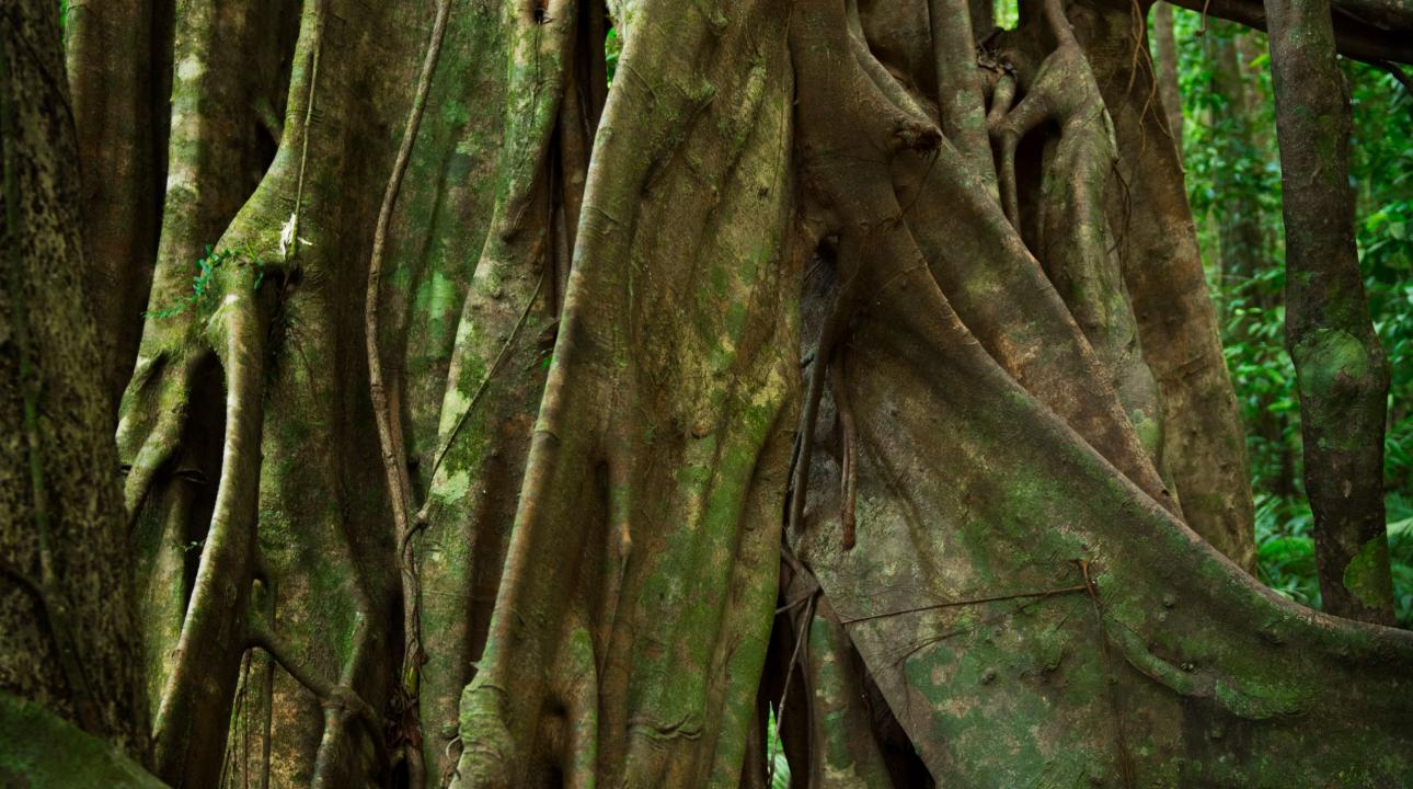 Thick knotted tree roots in the rainforest
